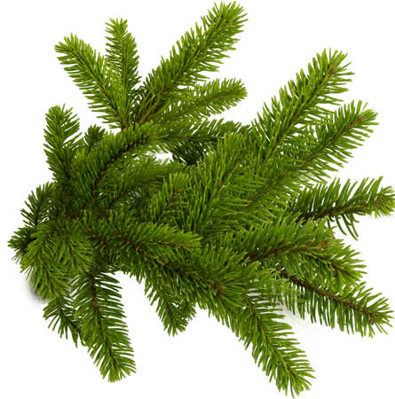 Spruce green branches on a white isolated background. Texture or background