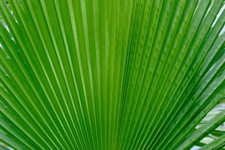 Large green palm leaf close-up.Texture or background Banco de Imagens