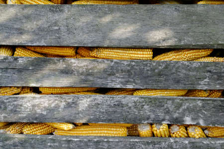Ripe corn for livestock feed in a rustic wooden box close-up.Texture or background