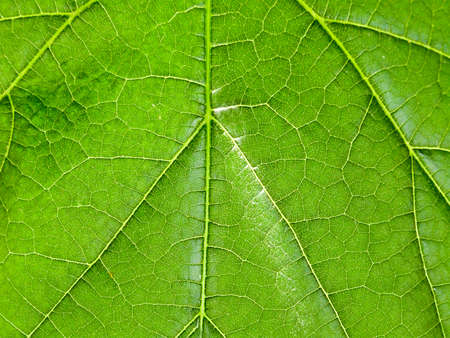 Macro texture of a green tree leaf close-up.Texture or background Standard-Bild - 167157371