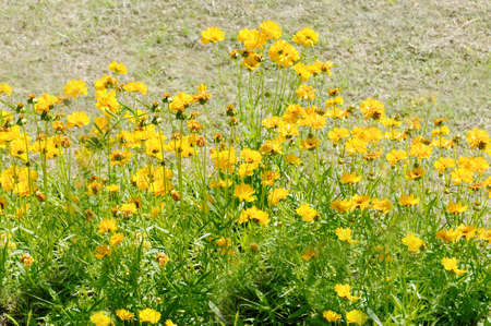 Outdoor lots of yellow flowers close up Archivio Fotografico