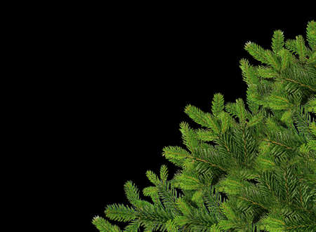 Close up of spruce branches isolated on a black background