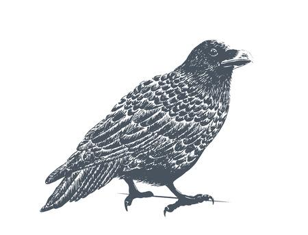 corvus: Black Raven - Classic Drawn Ink Illustration Isolated on White Background