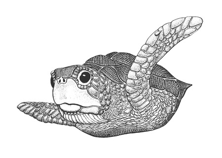aquatic animal: Sea Turtle - Classic Drawn Ink Illustration Isolated on White Background