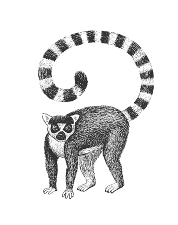 ring: Ring-Tailed Lemur - Classic Drawn Ink Illustration Isolated on White Background Illustration