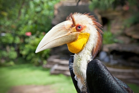 Male Hornbill in nature surrounding on Bali, Indonesia  photo