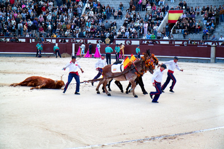 MADRID, SPAIN - OKTOBER 17: Dead bull is being dragged out of ring after a bull fight at the Plaza del Toros de Las Ventas in Madrid, Spain on Oktober 17, 2010.