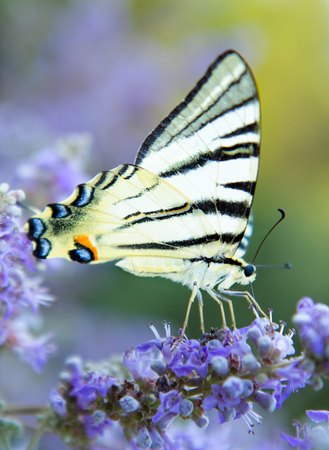 The large butterfly on flower  with open wings in profile