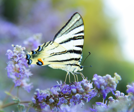 The large Tiger Swallowtail Butterfly  on flower  with open wings in profile