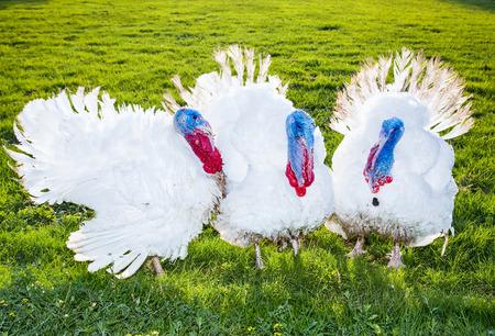 White turkeys on a green meadow in Novi Sad, Serbia.