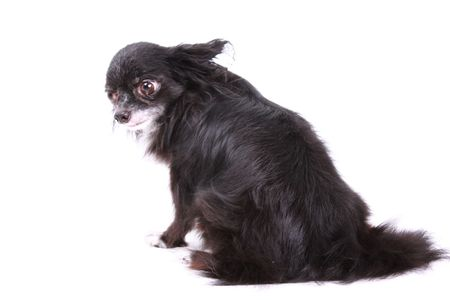 long: black and white long haired chihuahua against white