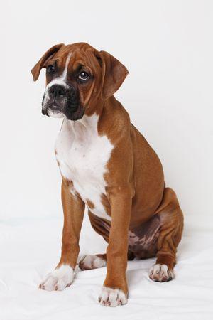 boxeadora: Boxeador masculina puppy Foto de archivo