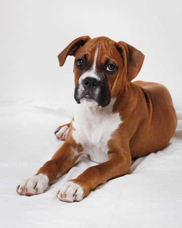 boxer dog: male boxer puppy Stock Photo
