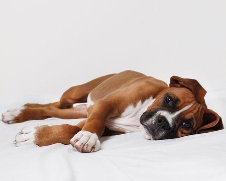 perro boxer: Cachorro de boxeador masculino