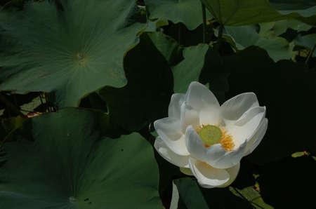 White Flower of Lotus in Full Bloom