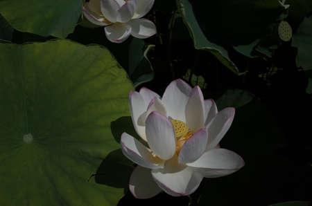 White Flower of Lotus in Full Bloom Foto de archivo