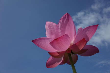Faint Pink Flower of Lotus against Blue Sky