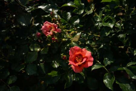 Salmon Orange Flower of Rose 'Babel Babylon' in Full Bloom