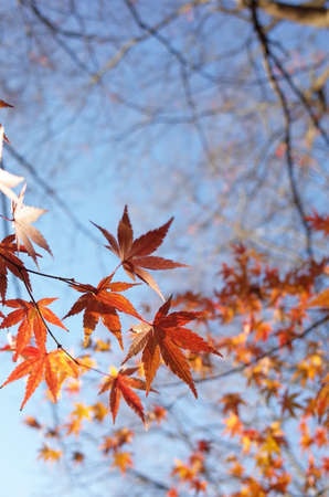 Red Autumn Leaves of Japanese Maple Tree