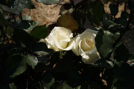 Whit Flower of Rose 'Mme. Sachi' in Full Bloom