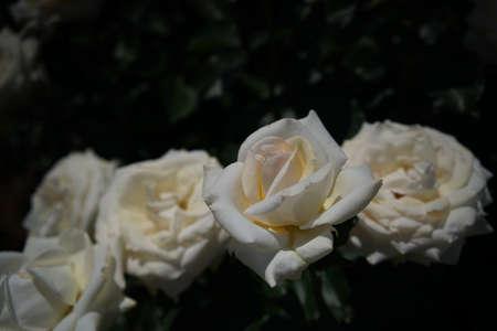 Whit Flower of Rose 'Racy Lady' in Full Bloom