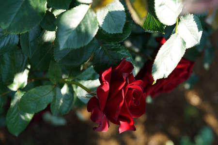 Dark Red Flower of Rose 'Schwarze Madonna' in Full Bloom
