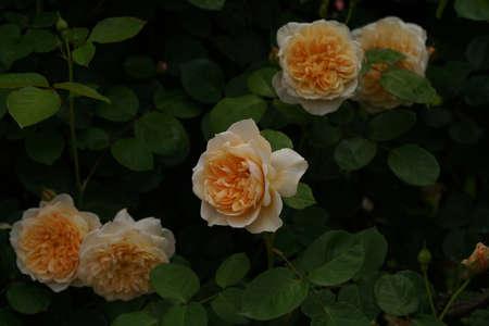 Light Cream Flower of Rose 'The Ingenious Mr. Fairchild' in Full Bloom