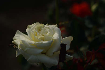 Whit Flower of Rose 'White Masterpiece' in Full Bloom