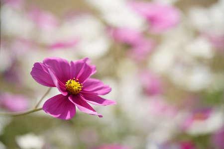 Light Pink Flower of Cosmos in Full Bloom
