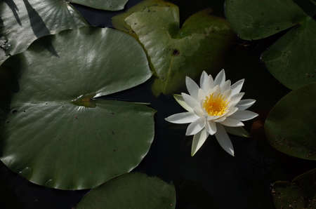 White Flower of Water Lily in Full Bloom