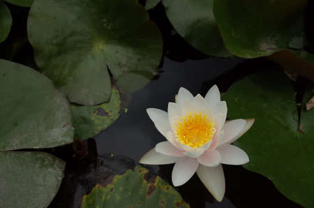 White Flower of Water Lily in Full Bloom Archivio Fotografico
