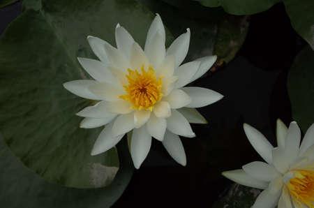 White Flower of Water Lily in Full Bloom Foto de archivo