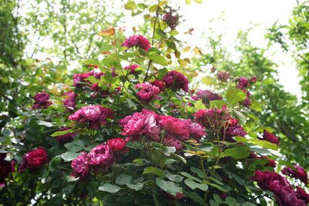 Red Flower of Rose 'Cardinal Hume' in Full Bloom 写真素材