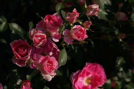 Pink Flower of Rose 'Carefree Wonder' in Full Bloom