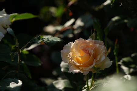 Light Cream Flower of Rose 'Grand Prize' in Full Bloom