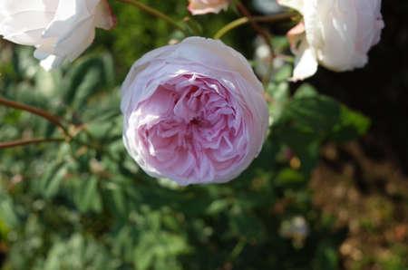 Faint Pink Flower of Rose 'Fen Zhang Lou' in Full Bloom 版權商用圖片