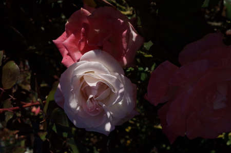 Pink and White Flower of Rose 'Gemini' in Full Bloom