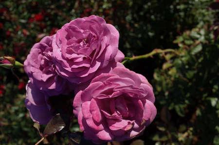 Light Purple Flower of Rose 'Plum Perfect' in Full Bloom