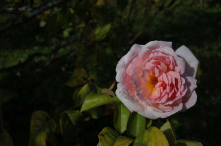 Faint Pink Flower of Rose 'Sharifa Asma' in Full Bloom