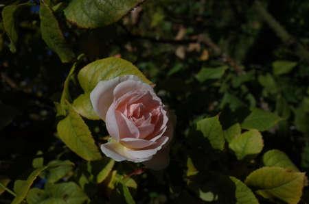 Faint Pink Flower of Rose 'Sharifa Asma' in Full Bloom Foto de archivo
