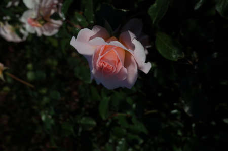Light Pink Flower of Rose 'Spring Corsage' in Full Bloom