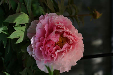 Faint Pink Flower of Peony in Full Bloom