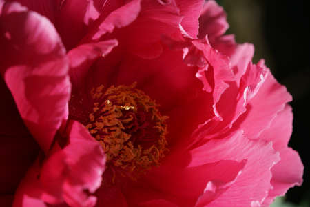 Light Red Flower of Peony in Full Bloom