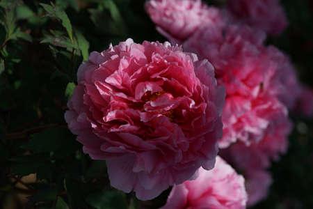 Light Pink Flower of Peony in Full Bloom