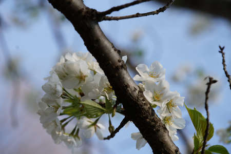 White Flowers of Cherry in Full Bloom
