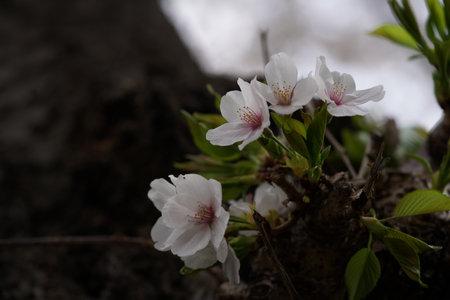 Faint Pink Flowers of Cherry 'Somei-yoshino' in Full Bloom