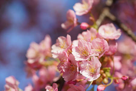 Light Pink Flowers of Cherry 'Kawazu-zakura' in Full Bloom