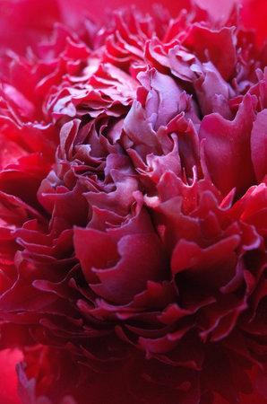 Red Flower Center of Peony in Full Bloom