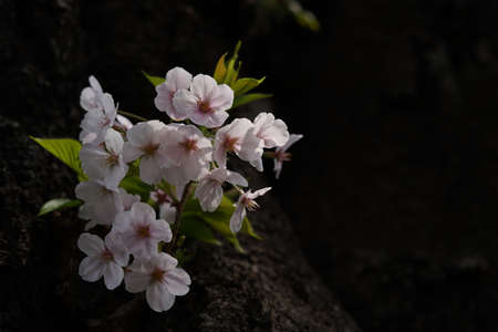 Faint Pink Flowers of Cherry 'Somei-yoshino' in Full Bloom