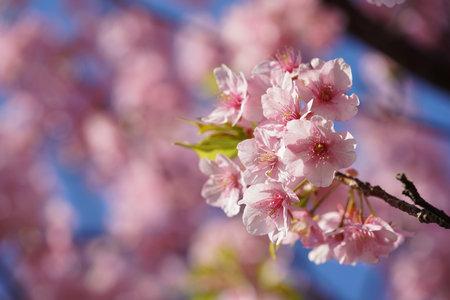 Light Pink Flowers of Cherry 'Kawazu-zakura' in Full Bloom Banque d'images